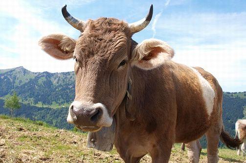 「牛の角を切らないで」スイス国民投票で問う