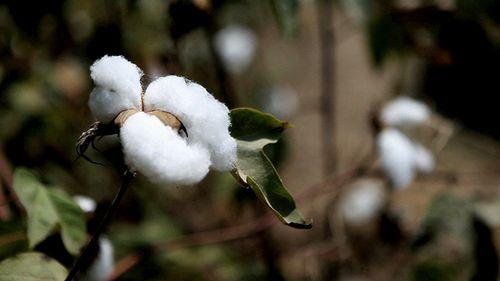 アパレル大手、2025年までに持続可能な綿の調達100%を目指す