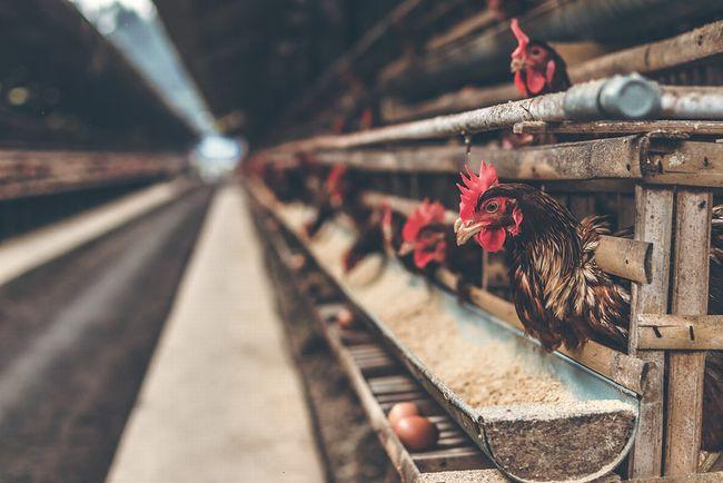 欧州連合(EU)、採卵鶏などのケージ飼育を禁止する法案提出へ前進